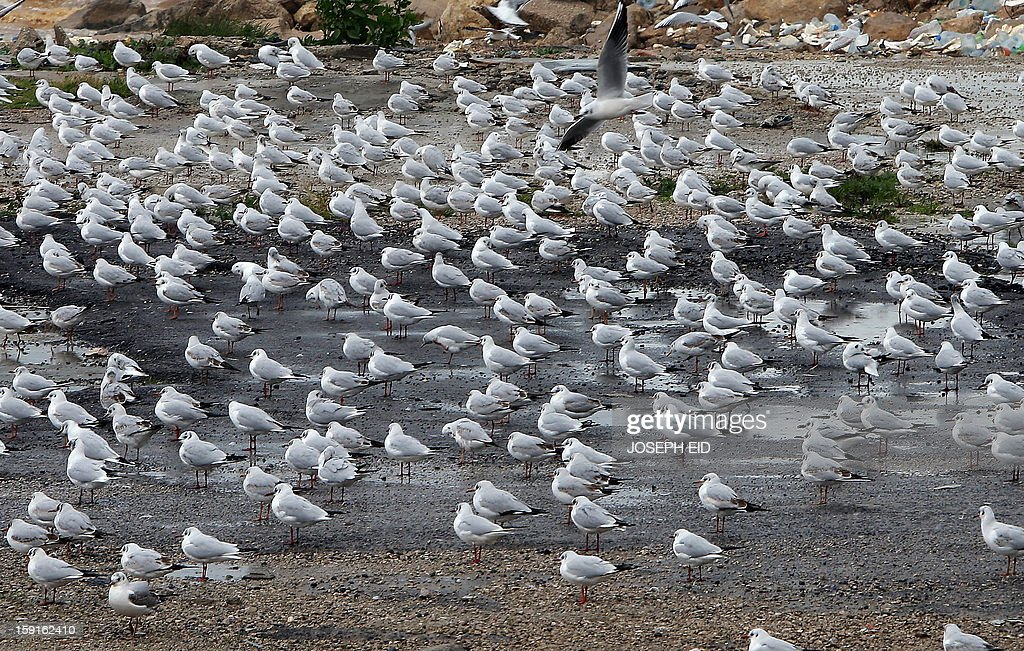 Seagulls are seen on the seashore of Dbayeh at the northern entrance of Beirut on January 9, 2013 as heavy rains and high speed winds hit Lebanon. A met office official at Beirut airport said the storm would continue and that lower temperatures would result in snowfall in the mountains as low as 300 metres. AFP PHOTO /JOSEPH EID