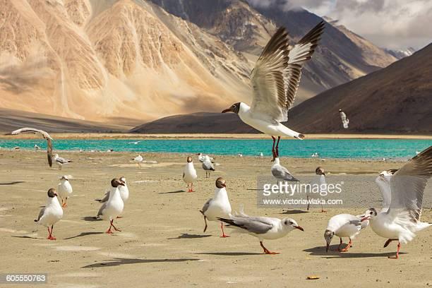 Seagulls at Pangong Lake, India