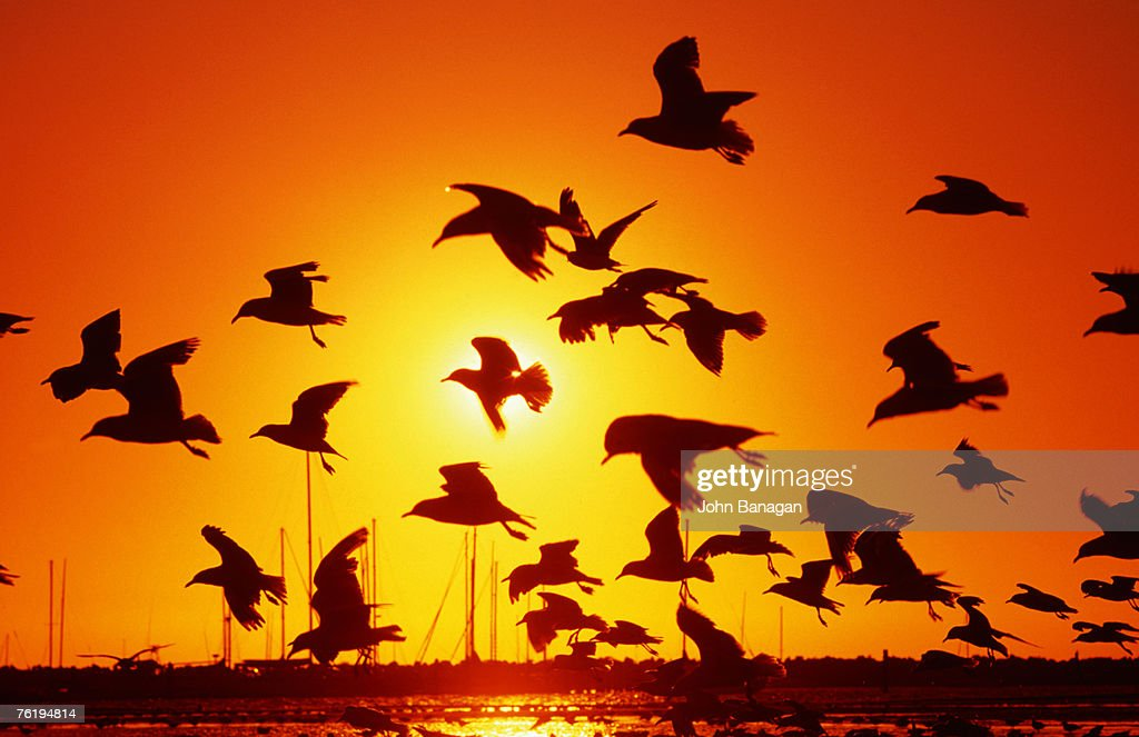 Seagulls at St Kilda, sunset, Melbourne, Victoria, Australia, Australasia : Stock Photo