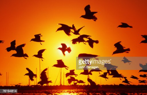 Seagulls at St Kilda, sunset, Melbourne, Victoria, Australia, Australasia : Photo