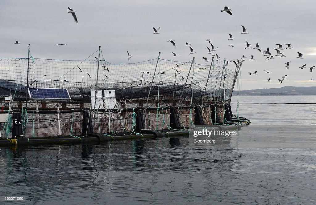 Seagulls circle a salmon pen in search of feed pellets at Huon Aquaculture Co.'s salmon farm at Hideaway Bay, Tasmania, Australia, on Tuesday, Feb. 26., 2013. Australia's economy probably grew 3 percent in the final quarter of 2012 from a year earlier, economists predicted before a March 6 government report, as demand strengthened from China, Australia's biggest trading partner. Photographer: Carla Gottgens/Bloomberg via Getty Images