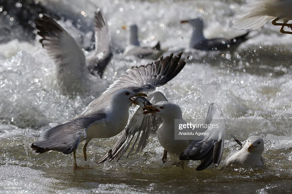 Seagulls feed themselves with pearl mullets, known as Alburnus tarichi, at Lake in Turkey's Van province on June 27, 2016. The pearl mullet which live in alkaline, salty water in Lake Van must resist seagulls as they migrate to freshwater. The seagulls that live on the shores of Lake Van feed by hunting the fish migrating to freshwater to breed.
