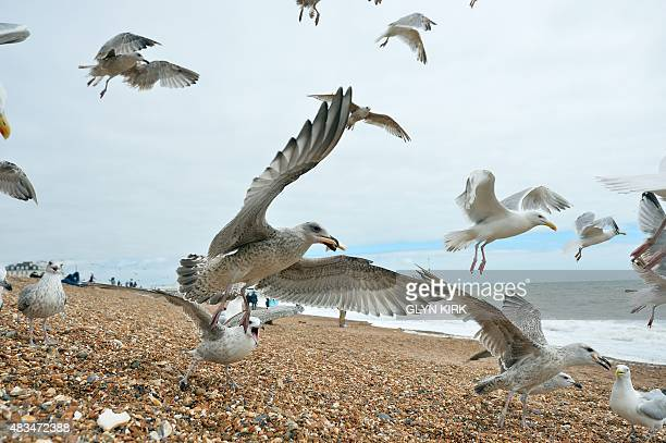Seagulls fight over food on Brighton seafront in Brighton southern England on August 6 2015 A familiar presence at Britain's seaside resorts seagulls...