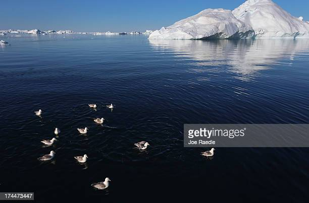 Seagulls float on the water near icebergs that broke off from the Jakobshavn Glacier on July 22 2013 in Ilulissat Greenland As the sea levels around...
