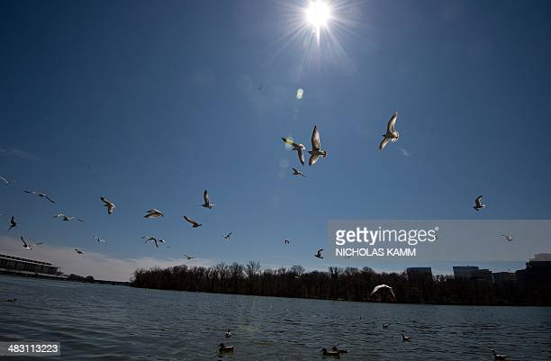 Seagulls fly above ducks swimming in the Potomac river in the Georgetown neighborhood of Washington as springtime makes a late appearance in the US...