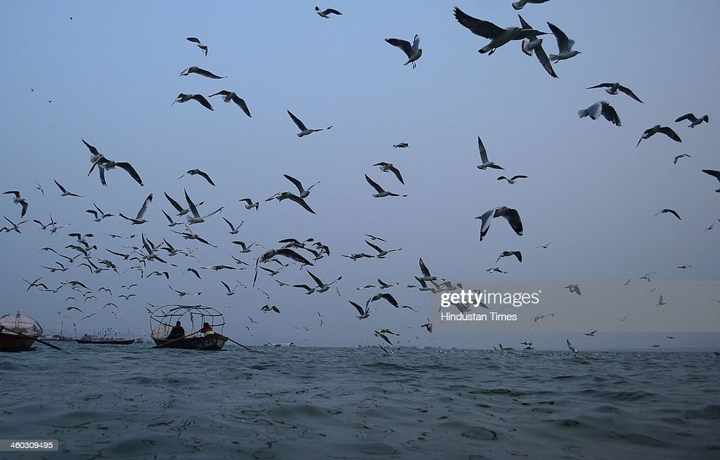 Seagulls fly and float over the Sangam the confluence of the rivers Ganges Yamuna and the mythical Saraswathi as preparations are going on for Magh...