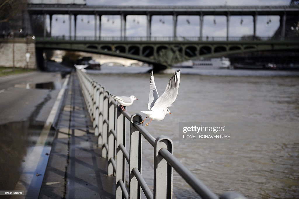 Seagulls fly near an overflowing bank of the Seine river, on February 6, 2013 in Paris. Roads along the river banks were closed to traffic in case of flooding. AFP PHOTO / LIONEL BONAVENTURE