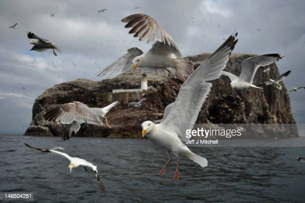 Seagulls fly near Bass Rock where Gannets nesting on in the Firth of Forth on June 18 2012 in Dunbar Scotland Every January Atlantic gannets start...
