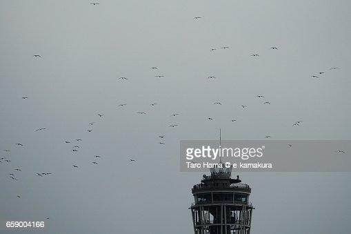 Seagulls flying near Enoshima lighthouse : ストックフォト
