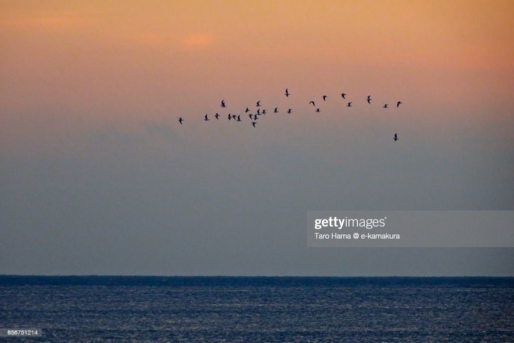 Seagulls flying on Sagami Bay in the sunset : ストックフォト