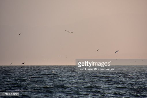 Seagulls flying on the Eboshi rock islands in Sagami Bay : ストックフォト
