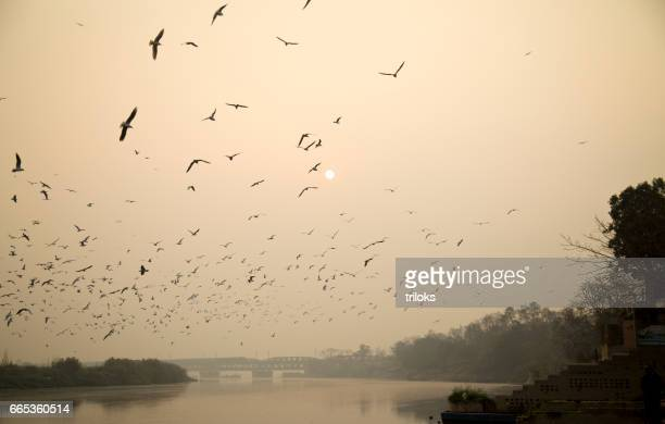 Seagulls flying over river