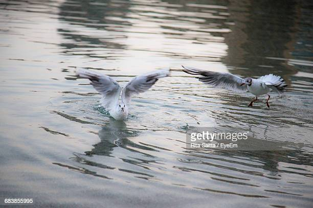 Seagulls Flying Over Water