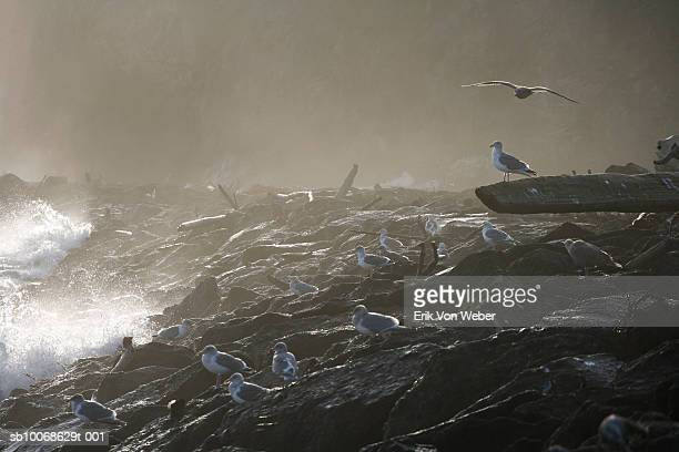 Seagulls foam on rocks