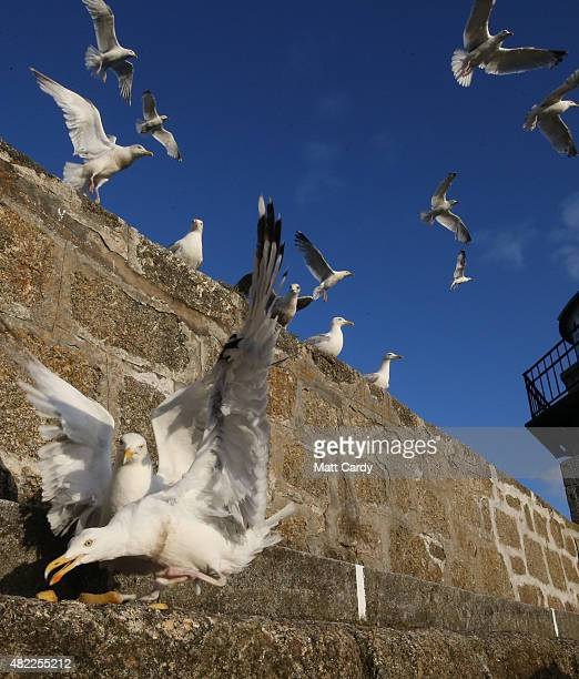 Seagulls gather on the harbour wall at St Ives on July 28 2015 in Cornwall England Recent attacks by herring gulls on people and their pets has led...