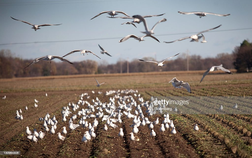 Seagulls graze in fresh-turned earth after sugar beets were harvested in Bay City, Michigan, U.S., on Monday, Oct. 24, 2011. U.S. sugar supplies this year will fall to the lowest since record-keeping began in 1960 as consumption rises and a smaller beet crop limits supplies left from last season, according to a U.S. Department of Agriculture report released earlier this month. Photographer: Adam Bird/Bloomberg via Getty Images