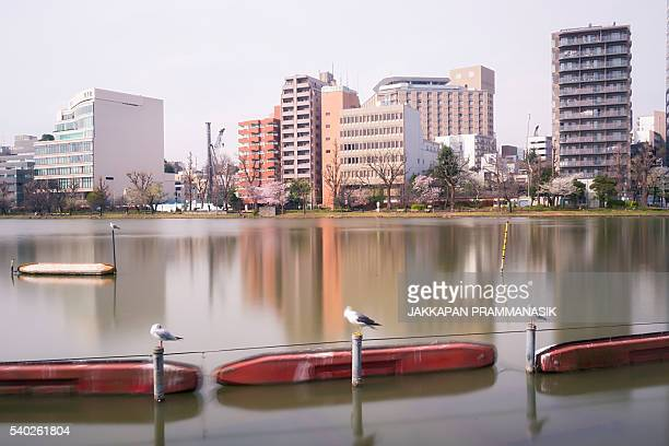 Seagulls in Shinobazu pond