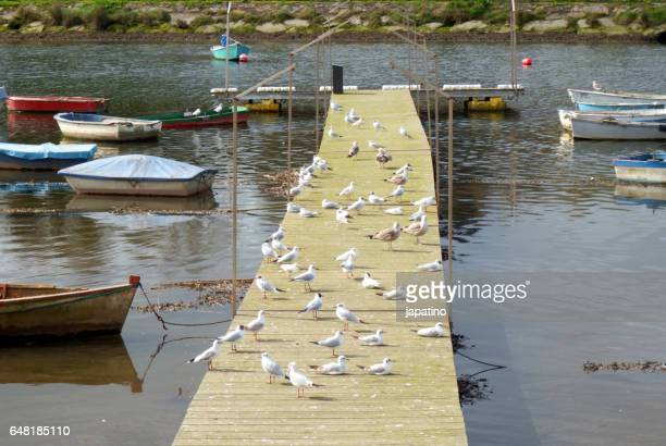 Seagulls of different species resting on a jetty
