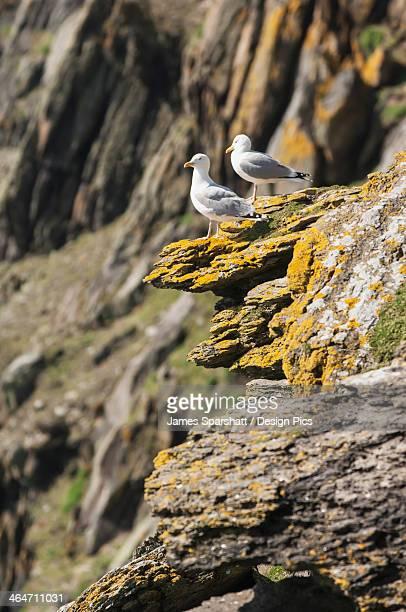 Seagulls on skellig michael the skellig islands