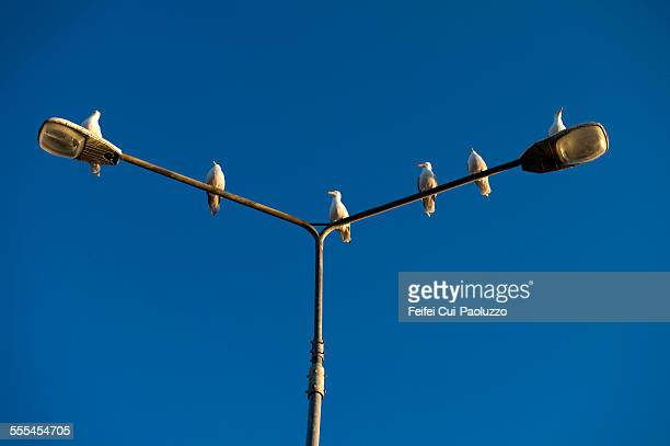Seagulls on the top of light lamp Portmage Kerry