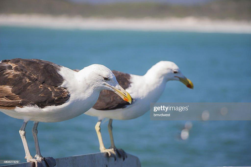 Möwen das am Rand von Boot : Stock-Foto