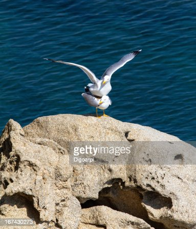 Seagulls : Stock Photo