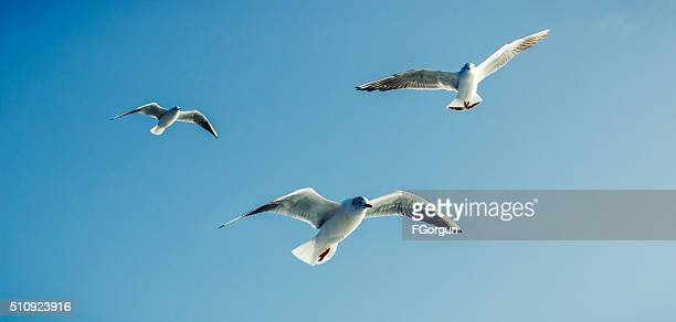 Seagulls - Sea Birds