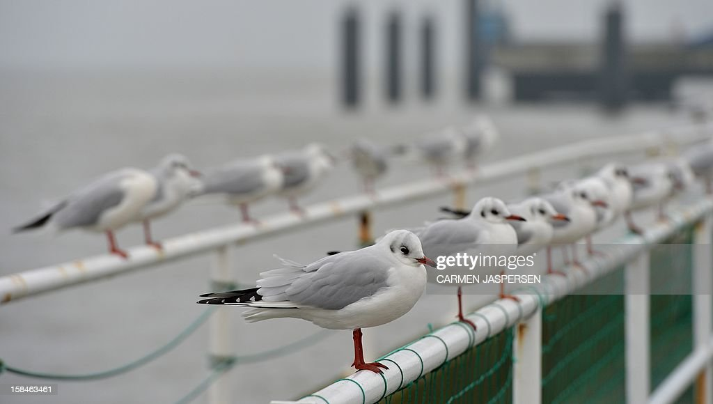 Seagulls sit on the guard railing of the 'Old Love' (Alte Liebe) footbridge in Cuxhaven, northern Germany, on December 17, 2012. Meteorologists forecast rising temperatures up to 9 degrees and rain for the coming days.AFP PHOTO / CARMEN JASPERSEN GERMANY OUT