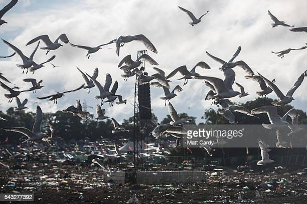 Seagulls swarm above rubbish left in front of the main Pyramid Stage at the Glastonbury Festival 2016 at Worthy Farm Pilton on June 26 2016 near...