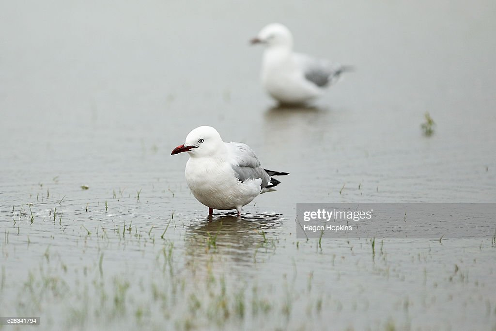Seagulls wade in flood water after heavy rain caused flooding on May 5, 2016 in Porirua, New Zealand. Severe rain warnings have been issued for the bottom of the North Island, and and several schools and parts of the city have been closed due to surface floosing