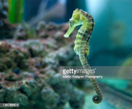 Sea horse stock photos and pictures getty images for Is a seahorse a fish