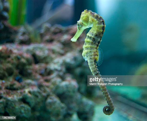 Seahorse in fish tank