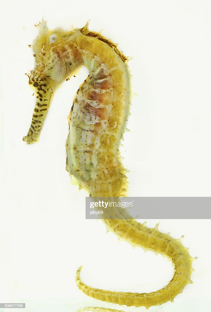 Seahorse isolated on White : Stock Photo