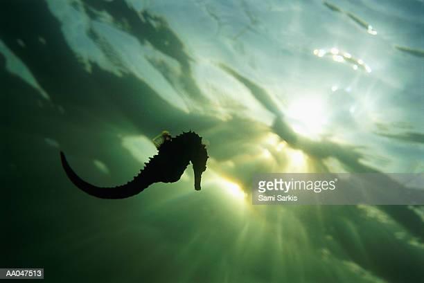 Seahorse (Hippocampus sp.), silhouette, underwater view