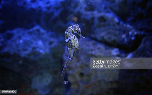 A seahorse swims in an aquarium at the Scientific Center of Kuwait on March 20 in Kuwait City / AFP / YASSER ALZAYYAT