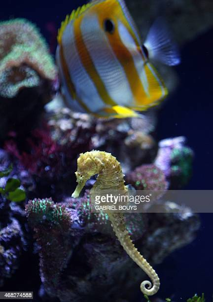A Seahorse swims in the Aquarium of the Pacific complex in Long Beach CA 08 November 2006 Described as having a horse's head a kangoroo's pouch and a...