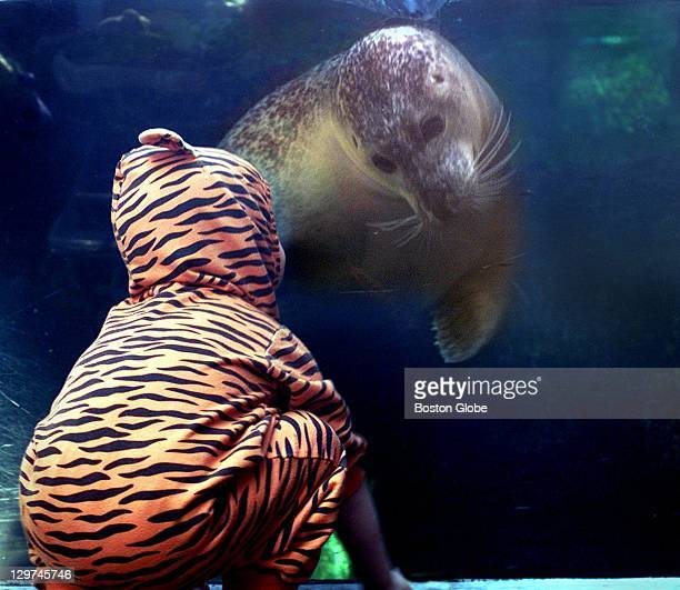 A seal at New England Aquarium swims up to a boy dressed as a tiger Ari Streeter of Newton two days before Halloween