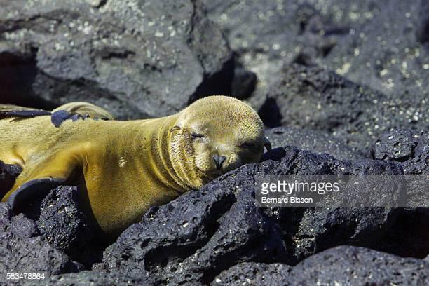 Seal in San Cristobal Bay