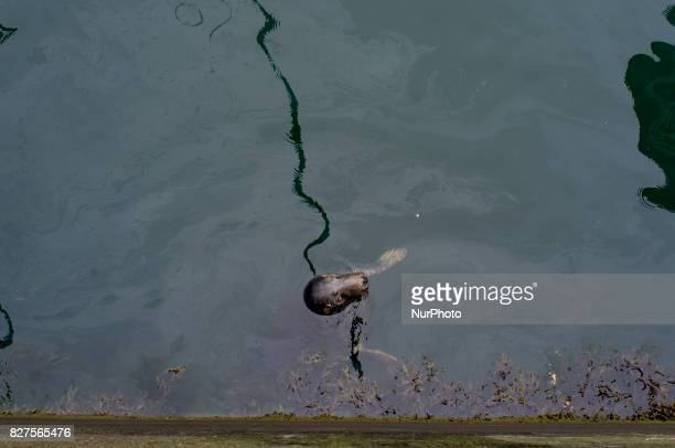 A seal is seen in the Howth harbour in Howth a suburb of Dublin on August 6 2017 Howth is a village and outer suburb of Dublin Ireland The district...