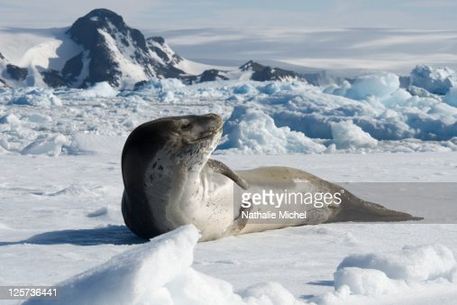 Seal leopard lengthened on the ice