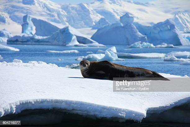 Seal Lying On Ice Glacier