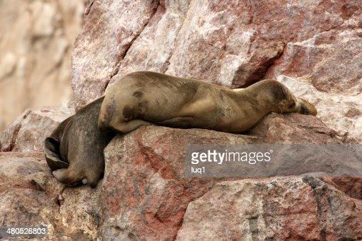 Seal on Islas Ballestas, Paracas National park in Peru : Stock Photo