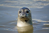 Curious seal in the sea
