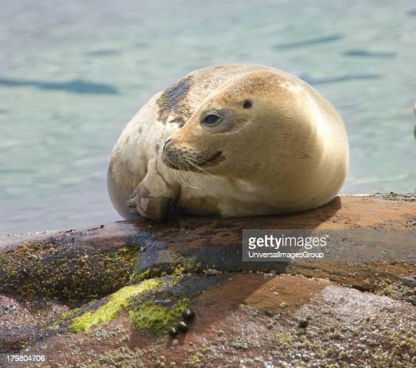 Seal pup Isle of Arran Scotland United Kingdom