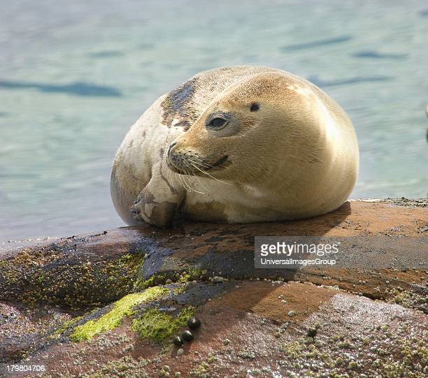 Seal pup Isle of Arran Scotland United Kingdom