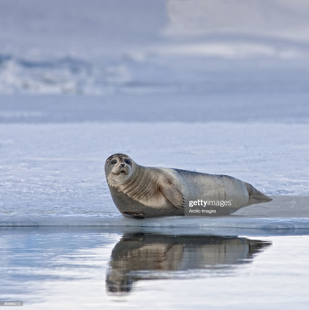 Seal sunbathing on Glacier : Stock Photo