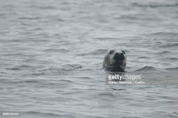 Seal Swimming In Water
