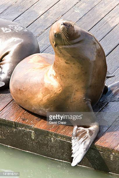 Seals basking on a pontoon at Pier 39 in San Francisco, California, United States of America, North America
