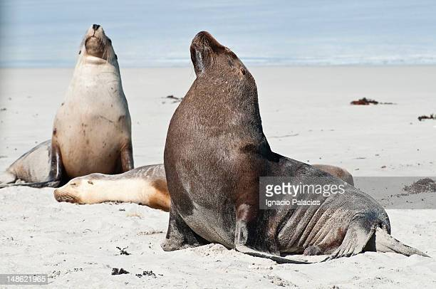 Seals (sea lions) in Seal Bay Conservation Park.