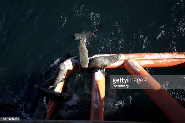 Seals lie on a steel boom on the Mafuta diamond mining vessel operated by Debmarine Namibia a joint venture between De Beers and the Namibian...